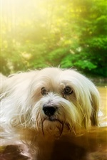 Preview iPhone wallpaper White furry dog in water, pond, trees
