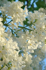 Preview iPhone wallpaper White lilac flowers, spring