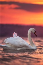 Preview iPhone wallpaper White swans, lake, sunset