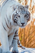 Preview iPhone wallpaper White tiger walk to you