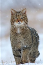 Preview iPhone wallpaper Wild cat, snow, winter, grass