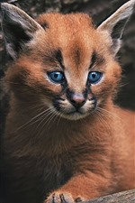 Preview iPhone wallpaper Wildcat, kitten, blue eyes