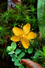 Preview iPhone wallpaper Yellow flower, green leaves, plant