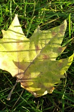 Preview iPhone wallpaper Yellow maple leaf, green grass