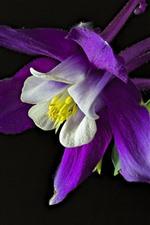 Aquilegia purple flower macro photography