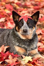 Preview iPhone wallpaper Autumn, dog, red maple leaves