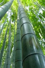 Floresta de bambu, verde, verão