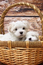 Preview iPhone wallpaper Basket, two white puppies