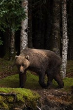 Preview iPhone wallpaper Bear, forest, moss