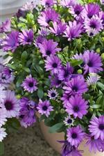 Preview iPhone wallpaper Beautiful purple flowers, osteospermum