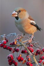 Preview iPhone wallpaper Bird, red berries, frost, cold