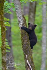 Preview iPhone wallpaper Black bear cub climbing the tree