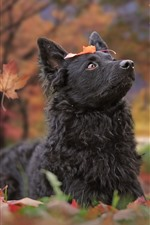 Preview iPhone wallpaper Black dog look up, red leaves, autumn