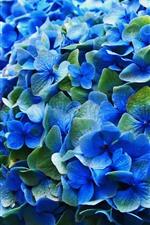 미리보기 iPhone 배경 화면 푸른 수국, 꽃, 개화