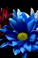 Preview iPhone wallpaper Blue white and red gerbera flowers, black background