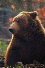Preview iPhone wallpaper Brown bear, front view, wildlife