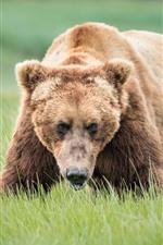 Brown bear, grass, look