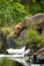 Preview iPhone wallpaper Brown bear look at creek