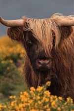 Preview iPhone wallpaper Brown bull, hairy, horns