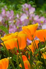 Preview iPhone wallpaper California poppy, orange flowers
