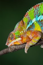Preview iPhone wallpaper Chameleon, rainbow colors, reptile