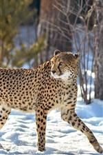 Cheetah, look back, snow, winter