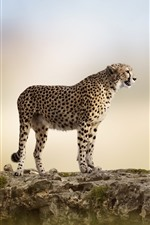 Preview iPhone wallpaper Cheetah, rocks, blurry background