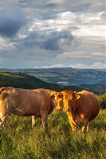 Preview iPhone wallpaper Cows, grass, mountains, clouds, sky