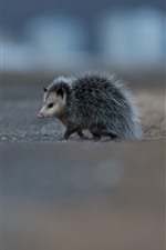 Cute animal, possum