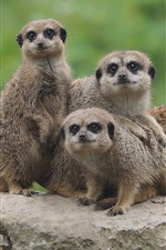 Cute animals, four meerkats, stone