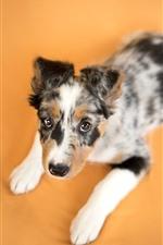 Cute puppy, orange background