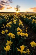 Daffodils, yellow flowers, fields