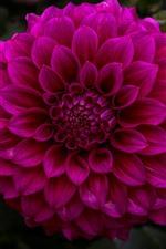 Preview iPhone wallpaper Dahlia, purple flower, garden