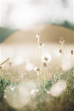 Preview iPhone wallpaper Dandelions, glare light