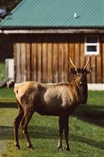 Preview iPhone wallpaper Deer, look, grass, house