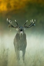 Deer open mouth, horns, fog, morning