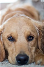 iPhone fondos de pantalla Vista frontal del perro, ojos, descanso
