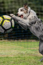 Preview iPhone wallpaper Dog play football, grass, funny animal