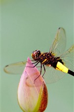 Preview iPhone wallpaper Dragonfly, lotus buds