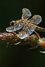 Dragonfly, plant, black background