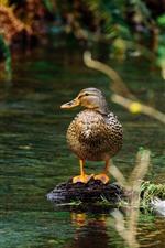 Vorschau des iPhone Hintergrundbilder Ente, Teich, Wasser