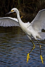 Preview iPhone wallpaper Egret, wings, water