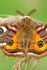 Preview iPhone wallpaper Emperor moth, butterfly, grass