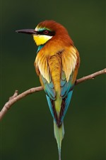 Preview iPhone wallpaper European bee-eater back view