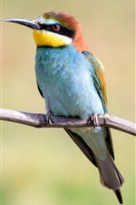 Preview iPhone wallpaper European bee-eater stay on tree branch