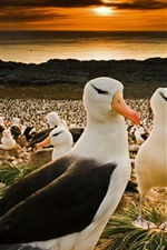 Falkland Islands, many black-browed albatrosses, birds
