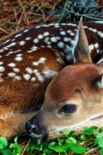 Preview iPhone wallpaper Fawn, deer, curled up