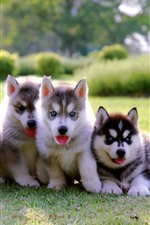 Preview iPhone wallpaper Four puppies, husky, blue eyes