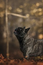 Preview iPhone wallpaper French bulldog, black dog, trees, autumn