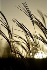 iPhone fondos de pantalla Hierba, cañas, puesta de sol